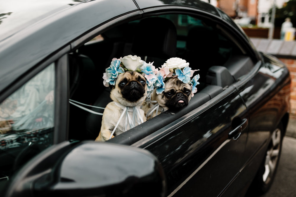 A pair of pugs with floral headdresses in a car.